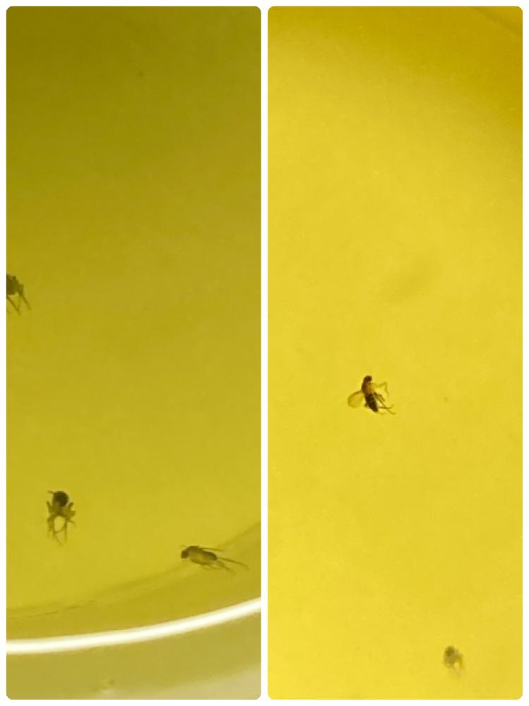 このコバエの種類はなんですか? 2つの画像でそれぞれ違うコバエのような気がします。 分かる方教えてください。