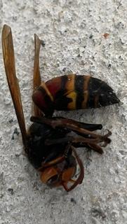 これは何という名前のハチでしょうか?わかる方がいらっしゃれば、教えて頂きたいです。