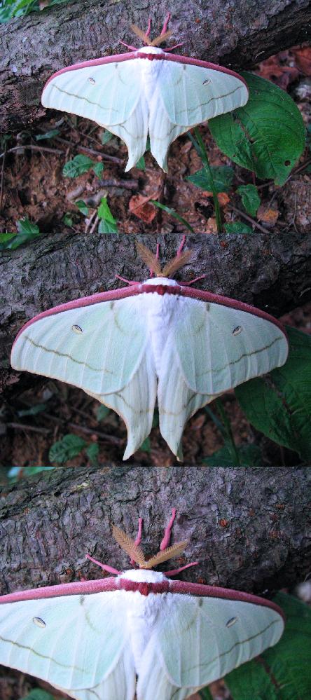 7月の標高300m~400mくらいの低山にいた昆虫・蛾です。 何やら、見るからに毒々しさをかもし出しています。 何という名前の 蛾 でしょうか??