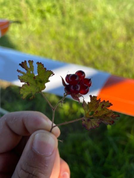 この花?実?の名前分かりますか? 場所は熊本県の阿蘇で、標高は800m程度です。