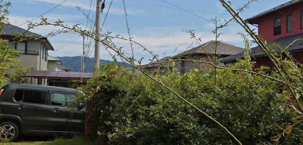 庭のバラです。品種は不明です。この時期になるとツルが写真のようにぐんぐん伸びてきて暴れます。1.切ってしまう 2.誘引して残す 3.一部切り、一部誘引 4.その他 仮に誘引した場合、もとからある...