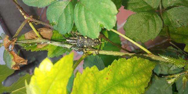 うちの庭先にいました このカミキリは、ゴマダラでしょうか? ゴマダラにしては、あまり黒くなかったので。 見た感じだとちょっと緑がかった感じでした