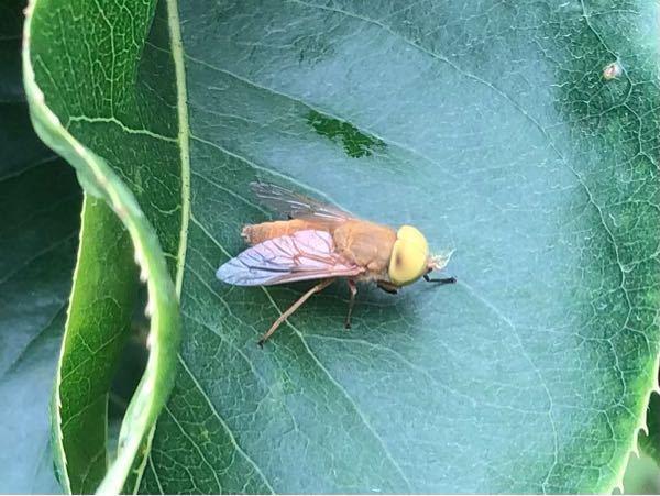 この虫の名前はなんでしょうか? ハエ?アブ? 目が黄色くて、あまり見たことないです。 梨の葉にくっついてました。 体長は2cmくらいだと思います。 よろしくお願いします。