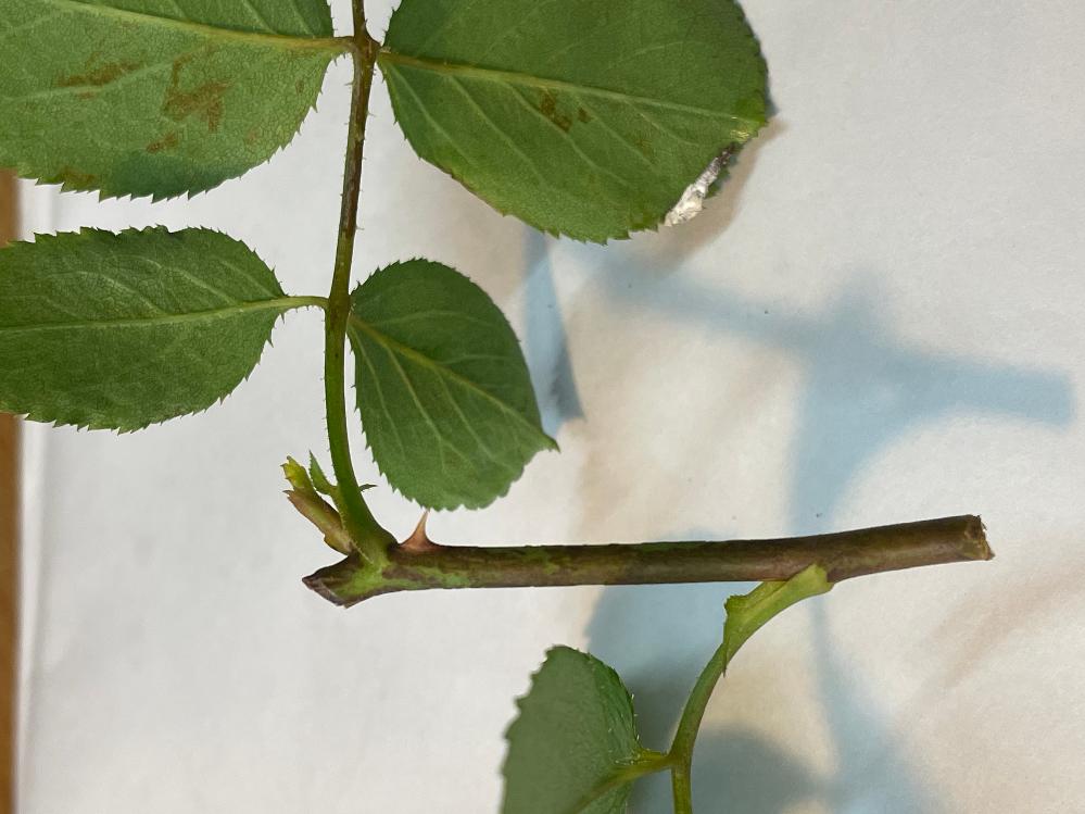 薔薇の病気、枝枯れ病(キャンカー)について教えてください。 家で鉢バラを10種類ほど育てている薔薇栽培初心者です。数日ら前から、1つの薔薇の若い枝数本が茶色のシミのような斑点ができていて、葉っぱ...