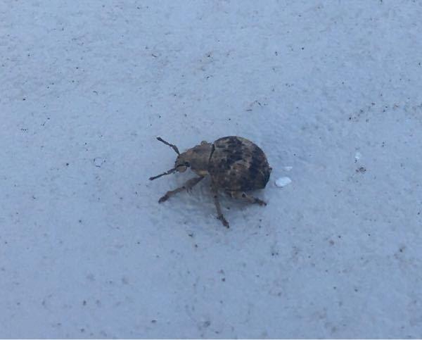 大葉を食いちぎる虫を捕まえました。 なんと言う虫かな? この虫に大葉を食われないようにする対策は何かなぁ?