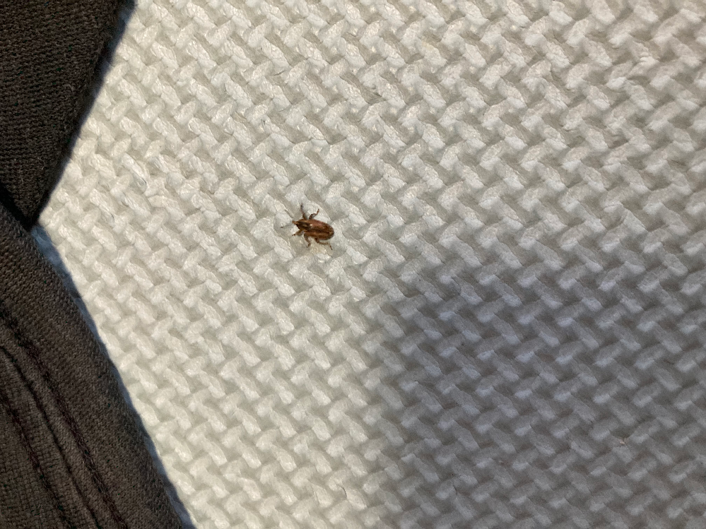 この虫は何でしょうか? 足にくっついていたので、マダニじゃないかと心配です