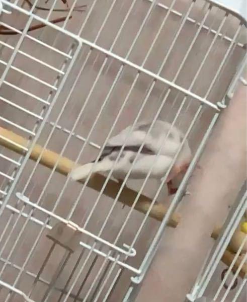 文鳥を2羽飼っているのですが、1羽だけこのように足を引っ掛けて寝てる?時があります。たまにしているくらいなのですが、どんな意味があるとかわかる方いますか?(>_<)