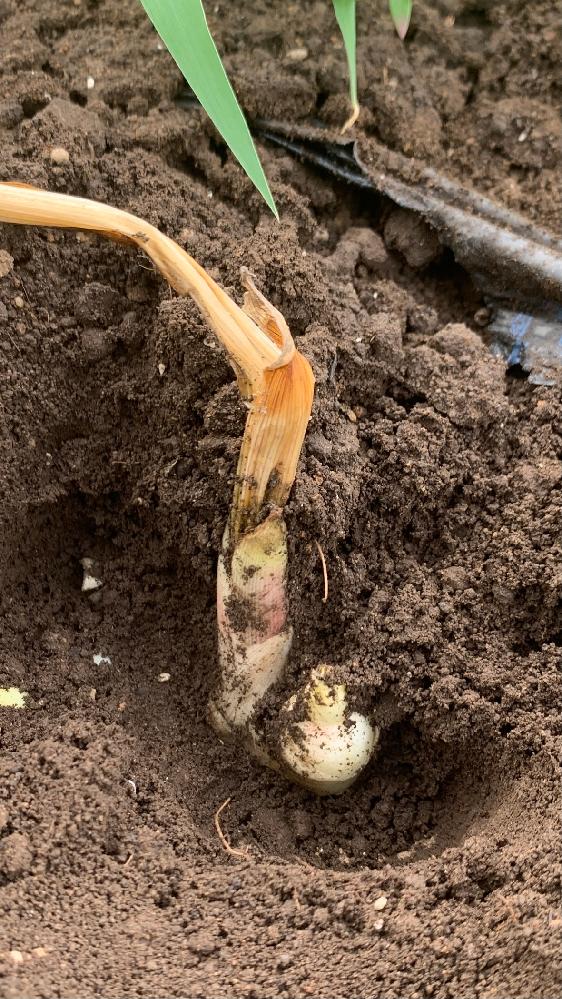 生姜栽培に詳しい方に是非お聞きしたいのですが私は関東にて副業にて生姜栽培3年目です。 毎年梅雨明けしてから30度を越してくると地際から枯れたり新芽が枯れる株が数十株でます。 根茎自体は腐敗してるわけでは無さそうに見えます。 殺菌剤等は散布していますが毎年必ずこの時期にでてきます。 なにか病気でしょうか。あまりの暑さのせいでしょうか。 なにか対策があればアドバイスお願いします。