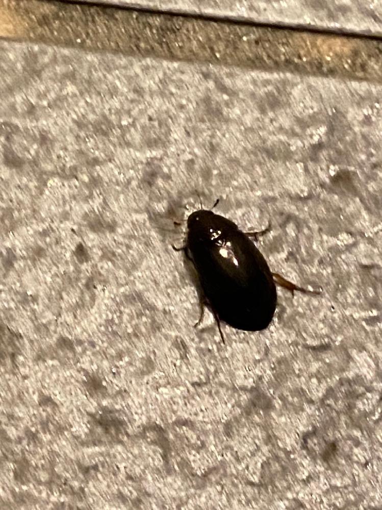 緊急です!早く知りたいです! 居酒屋バイトをしているのですが、閉店の時間になり入り口付近を見てみるとこの虫が大量発生していました。黒くて2cmほどです。30匹はいたと思います。 周りは明るいところが少なかったので光に反応してきているのかと思います。 基本的に地面で徘徊していてたまに低めに飛んでいました。 対策をしたいので早めに知りたいです!他に必要事項あれば聞いてください。