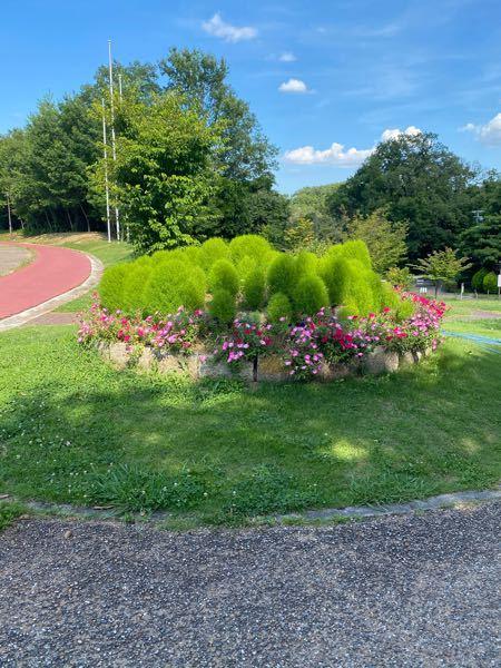 こちらの花壇に植えてある緑の丸い植物の名前を教えて下さい。
