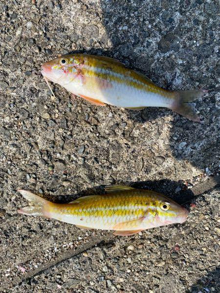 誰かこの魚の名前わかる人いますか? 海で釣りをしてた時に釣れました!