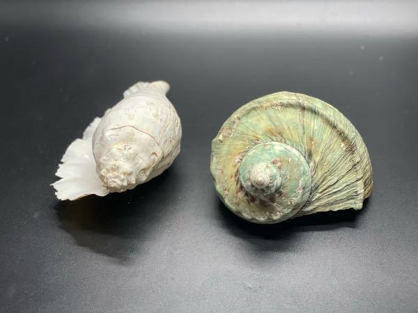 この貝の種類はなんですか?