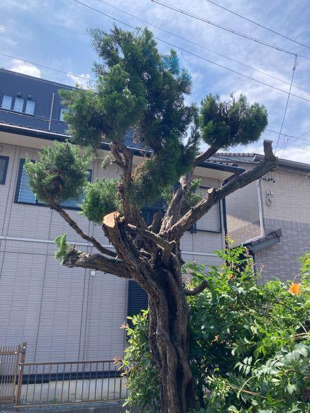 自宅のカイヅカイブキの木を、 これでもかなり切ったのですが、 上品に見せるにはこれからどのように 切ったら良いですか?