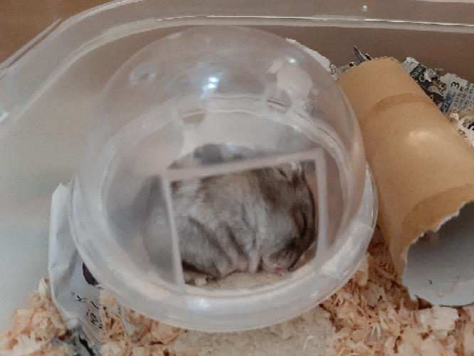 ハムスターがトイレで寝ていたんですけど、よくあることですかね?