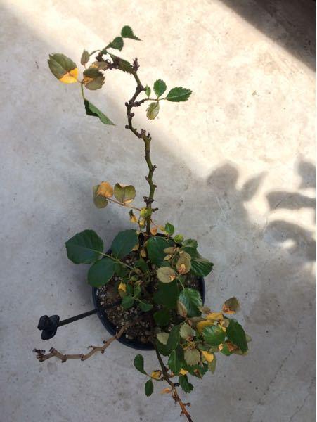 もう蕾も花もないですが、ミニバラ?(正式な名前が分からない)最近ずっと葉が変色しています。 原因は何でしょうか?どうすれば元の色に戻りますか?