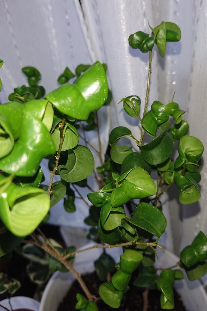 1、2年前に購入し育てているベンジャミンバロックです。 葉のフチに点々がつき、葉が硬くなってしまいました。 日中はベランダの半日陰におき、土の表面が乾いたら水をあげています。 病気か虫が原因でしょうか? 改善する方法はあるのでしょうか。 よろしくお願いいたします。