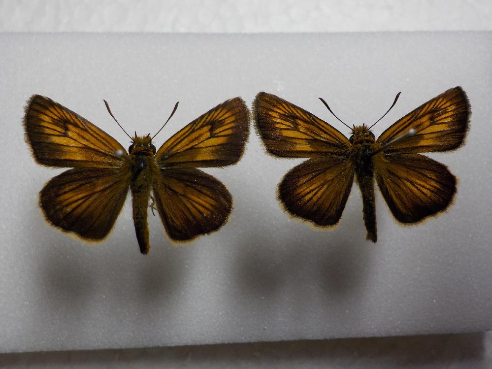 この蝶の種類は何ですか? ヘリグロチャバネセセリですか? 岡山県産 6月採集です。