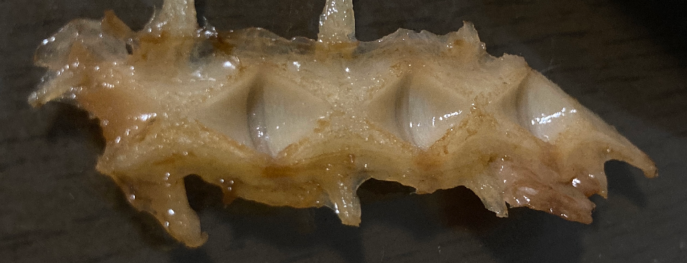 魚の背骨について 先日、ヒラマサを食べていたとき、背骨に菱形の窪みがありました。ネットで調べても似たようなことを見つけることが出来ませんでした。 通常からこのような窪みがあるのですか? ご存知の方がいましたら回答お願いします。