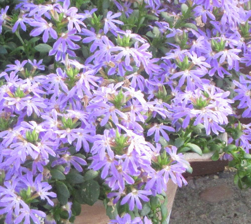 この花の名前を教えてください。 うす紫色の5~6枚のへら型の花びらが放射状に咲いています。 花もはっぱも小さいです。 (この1ヶ月、いろいろ教えていただき、かなり名前を覚えました。)