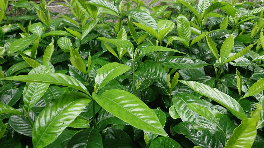 この植物の名前が知りたいです♪ 生け垣で植えられていました。 よろしくお願いいたします(*^^*)