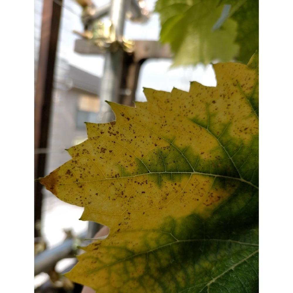 シャインマスカット1年目です。 不織布で大体、土の量は60Lです。 古い葉が黄色くなってきて 写真の様な斑点が出ています。 検索すると褐斑病とかマグネシウム欠乏が疑わしいと思うのですが、御意見頂けないですか 消毒は先月ベンレート今月トップジンMを散布しました。