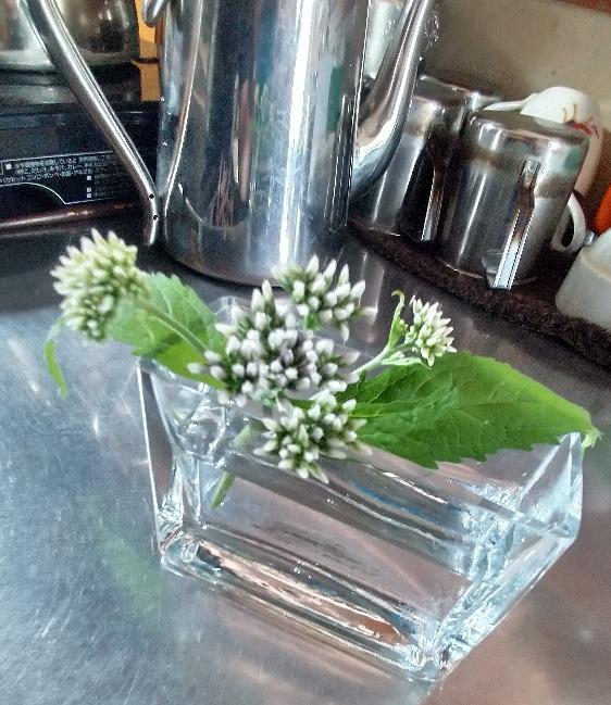 またお知恵をお借りしたいです。 このシロツメのような花が咲く植物は何と言う名前の花でしょうか ️ よろしくお願いいたしますm(__)m
