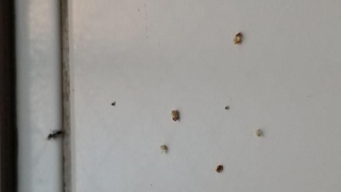 キッチンを掃除した翌日、大量に、幼虫?シロアリ?卵のような50個以上死んでました。 キッチンの隙間のゴムを取り消毒薬は入れました。後日、自分で直すために、 シロアリなら業者を呼んで、施工しないと シロアリ対策は10年はしてません