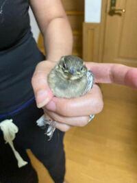 ベランダに挟まっててお母さんが保護したのですが、この鳥は何という鳥でしょうか? どうすればいいでしょうか?