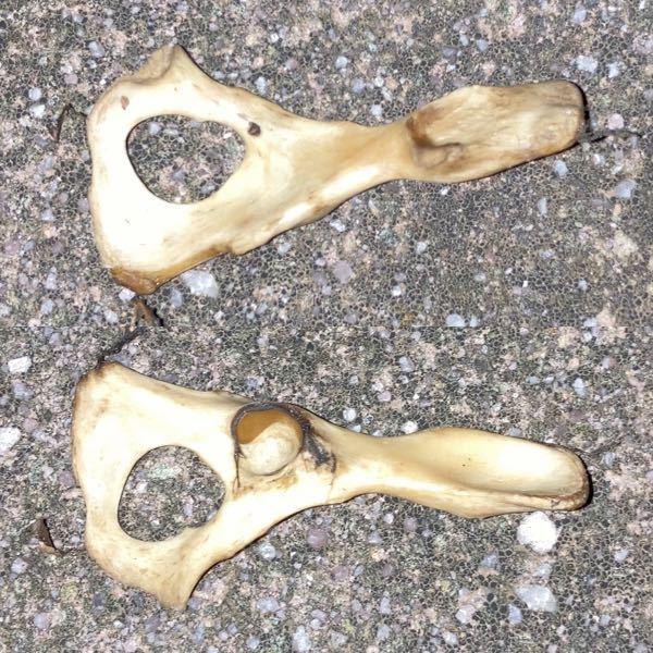 これはなんの骨ですか? 散歩中に犬が咥えてきて、一つは川に捨てたのですがもう一つ持ってきました。 これは二つ目のものですが、一つ目の捨てた骨と同じ形です。