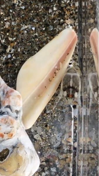 本日海で捕まえたこの生き物の名前はなんでしょうか? 海の砂の中にいました。 すぐ海に逃したので飼育はしません。 わかるかたよろしくお願いします