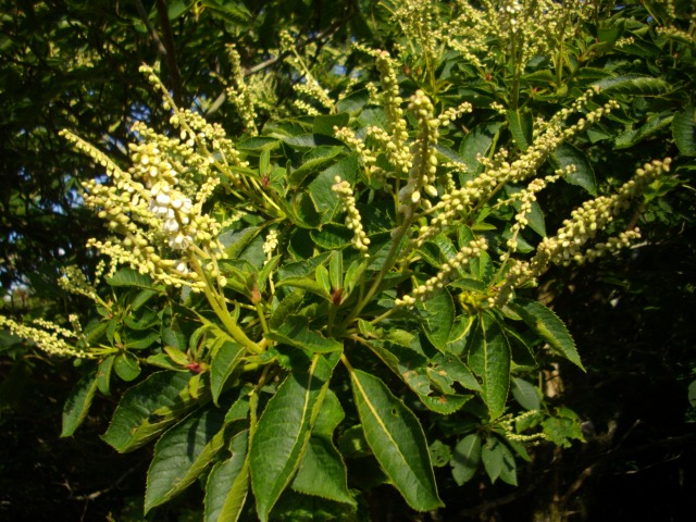 この植物は何でしょうか。先日 台高山脈で見ました。
