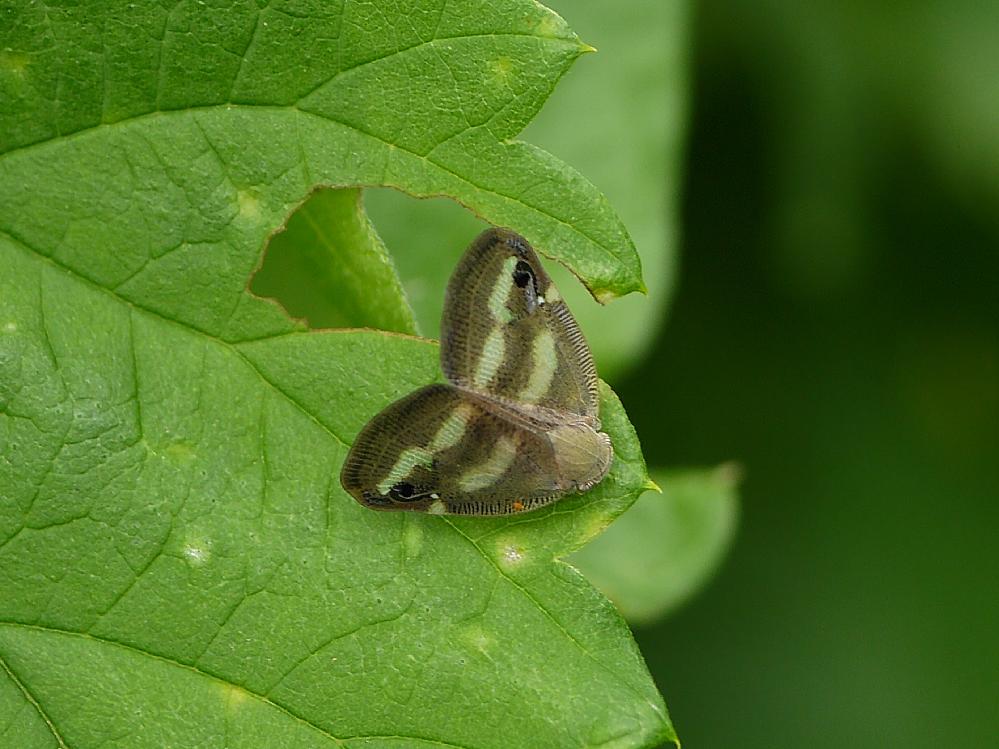 この蛾の名前を教えてください。よろしくお願いいたします。
