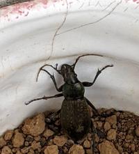 千葉県に住んでます。写真は家の近所で見つけた虫ですが、カミキリ虫のように見えますが、ご存知の方 教えていただけますでしょうか。よろしくお願いします。