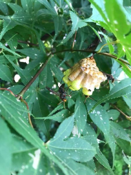 蜂に刺されました。これはなんの蜂か分かりますか?