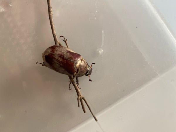 これはカブトムシですか?