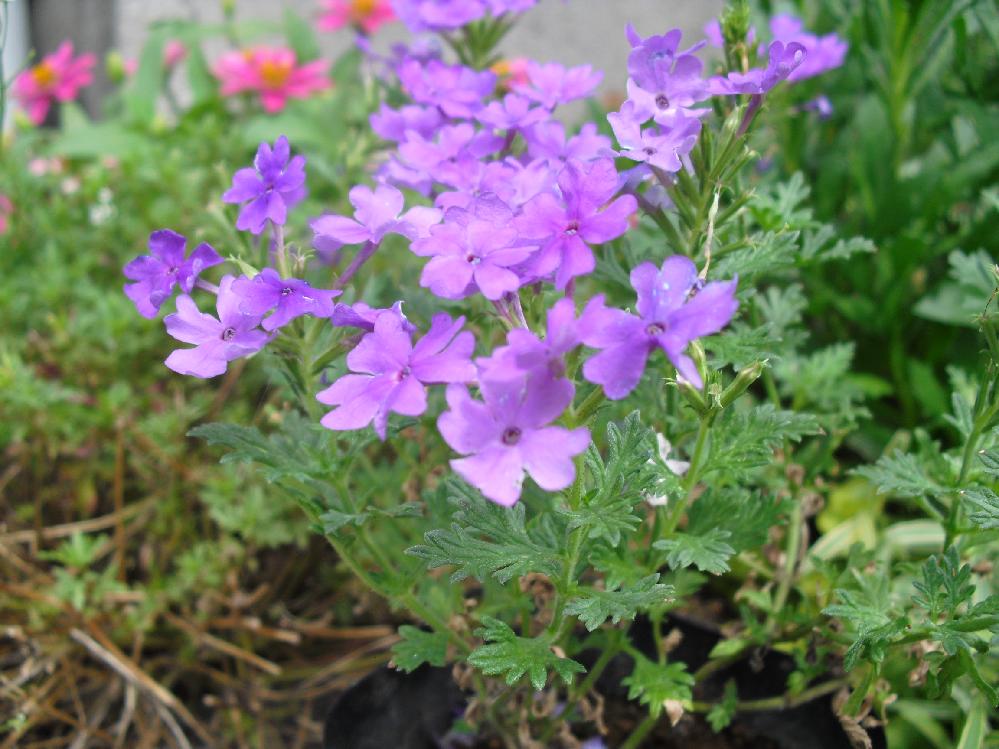 スーパーの店頭で売ってた花ですが、この花の名前を教えて下さい。 店員さんも解らないそうです。 小花で綺麗なので庭に植えようと思うのですが、名前が解ると嬉しいです。 わかる方宜しくお願い致します。