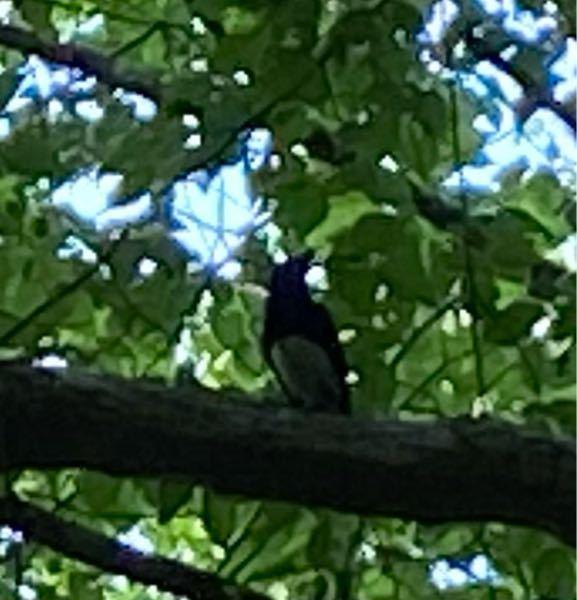 この鳥の名前は何でしょうか? 標高1000mくらいの山にいました。 「カチカチ カチカチ ピーー ヒューヒューヒューヒュー」と鳴きます。。。 少し歩くと沢が流れているところです。