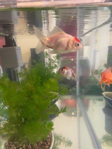 金魚 赤い糞 丹頂が赤い糞をしています。 病気でしょうか? 補足) 餌はテトラフィン フレークタイプをあげています。 よろしくお願いします。