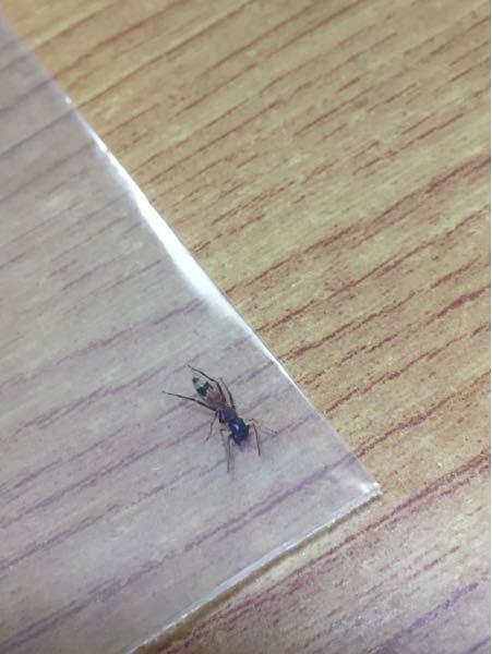 蟻について。 これは何という蟻でしょうか。 家の中で二回見つけたのですが毒などがある特殊な蟻でしょうか。