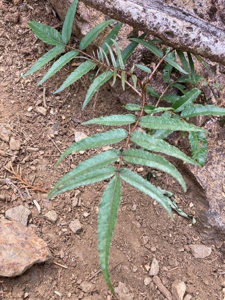 バライチゴまたはヒメバライチゴに見えるのですが、小葉の数が明らか多いようです。 青梅市の山で見ました。葉の両面は無毛で、鋭い棘があります。 何という植物ですか?