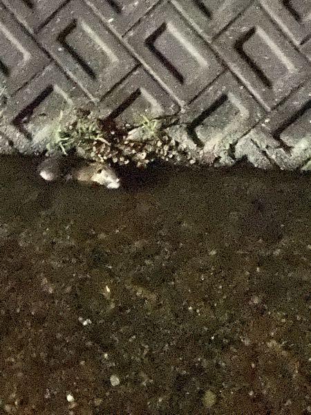 これ、なんの動物でしょうか? 猪の子供?カピバラ? 夜に歩いていると3m幅くらいの水路に何か泳いでるなぁと思い照らしてみるとこの動物が泳いでいました。 小さくて可愛いです、なんでしょう?