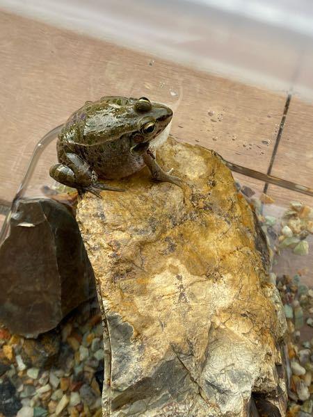 カエルの種類 昨日の夕方、息子が用水でカエルを捕まえてきました このカエルはどういう種類ですか? 餌とか分からないので今日にも用水に戻す予定ですが カエルは飼おうと思えば飼えますか? 教えてもらえるとありがたいです よろしくお願いします!