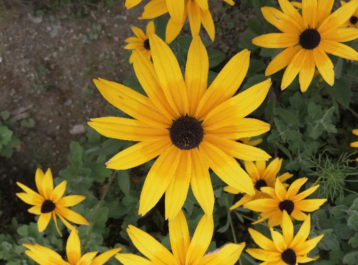 遠目には矮性の向日葵かと思いましたが、近寄ってみると葉の形状からキク科の植物のようです 何と言う花かご存知の方がいらっしゃいましたらお教え下さい!
