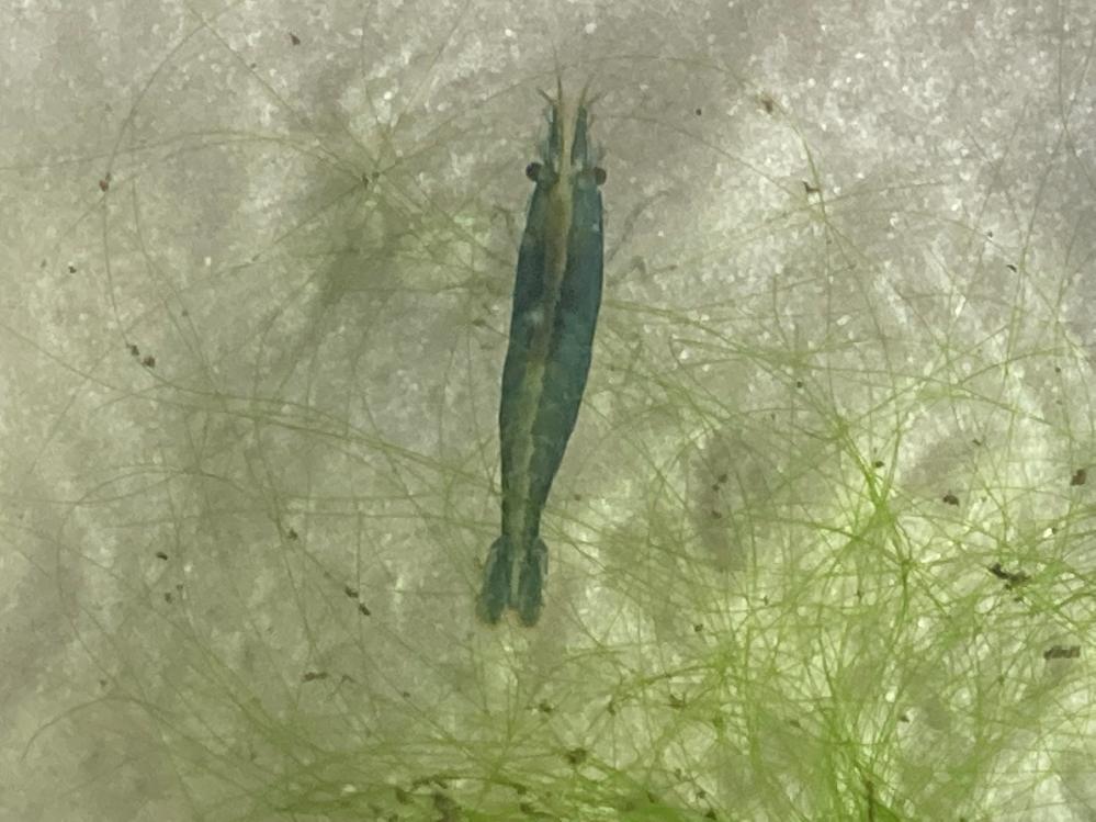 青いエビの種類が知りたいです。 埼玉県の公園内の小川で捕まえました。 体長は2.5cmぐらいです。 人工的に作ったエビが放流された? 自然にこんな色になることがあるのでしょうか?