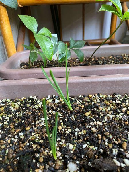 去年の球根をとりあえずプランターに放っておいたら 葉が出ていました。 確かスノーフレーク、スノードロップ、ムスカリ、 水仙です。 今頃葉が出たらどうなるのですか?