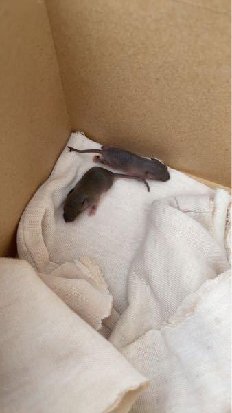庭にネズミの赤ちゃんがいました。とりあえず庭に放しておきました。 どの種類のネズミでしょうか