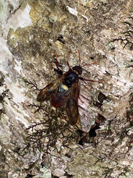 この虫は何という虫でしょうか? 朝9時ごろ白樺林で見つけました。