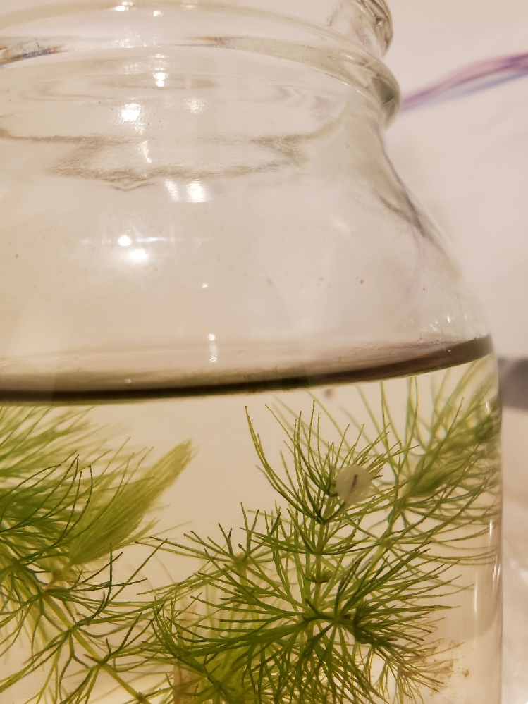 瓶に入ったメダカの赤ちゃんを買ったのですが、水草に丸いものがついていて、大きくなってきているような気がします。これはいったい何でしょうか? ちなみにメダカの赤ちゃんが小さすぎて水を変えるときにいなくなってしまいそうなのですが、水を変えたり水槽に移した方がいいですか?