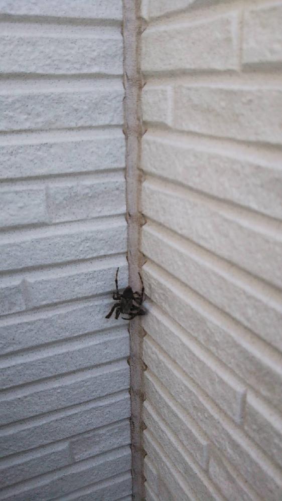 これはなんという蜘蛛ですか? 3cm位で毛が生えています。 また人体に害はありますか? わかる方よろしくお願い致しますm(_ _)m