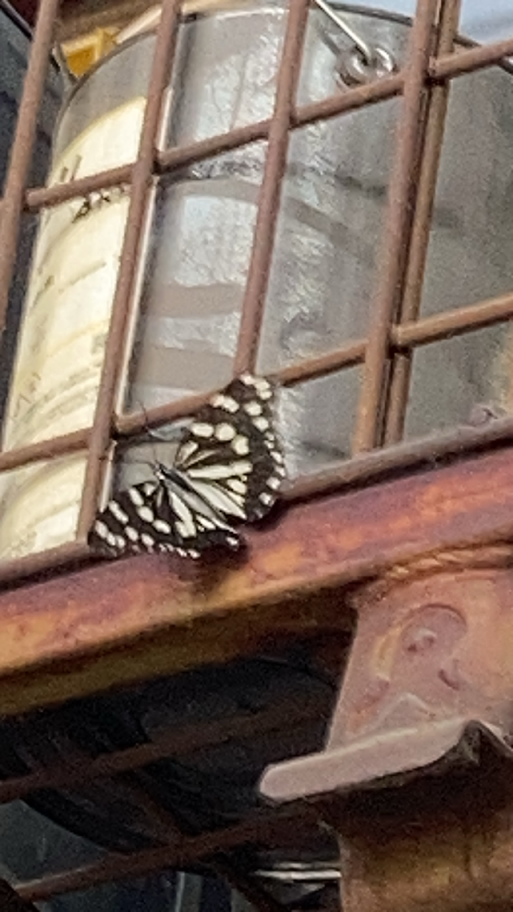 この蝶の種類教えてください